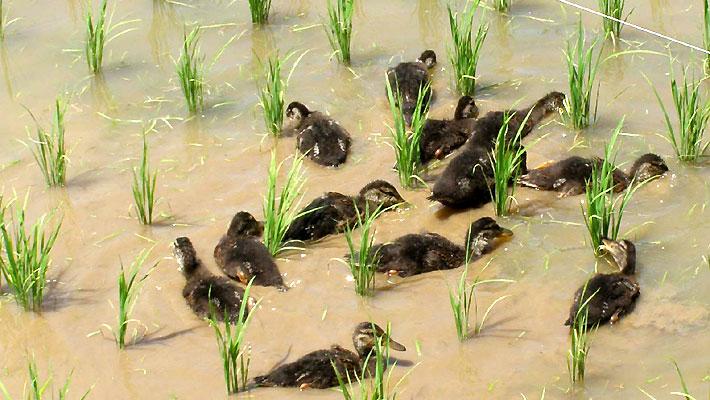 合鴨が泳ぐと水が濁る。これも抑草効果に。
