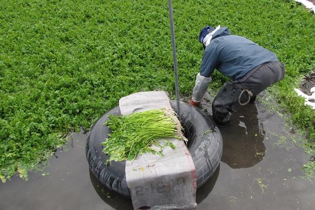 セリの収穫風景