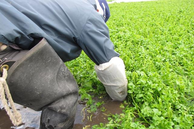 セリの収穫は重労働