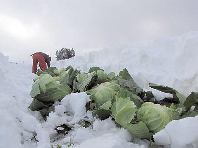 雪の中からキャベツを掘り起こす