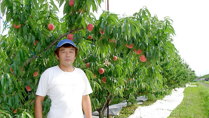 硬い桃の協力生産者