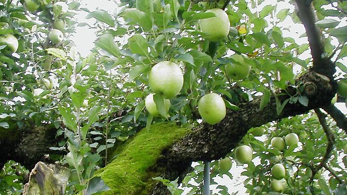 樹上の青りんご