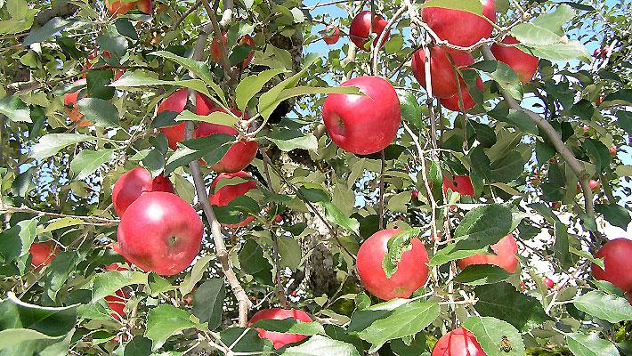 りんご 紅玉 鮮度抜群
