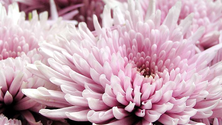 食用菊「もってのほか」延命楽