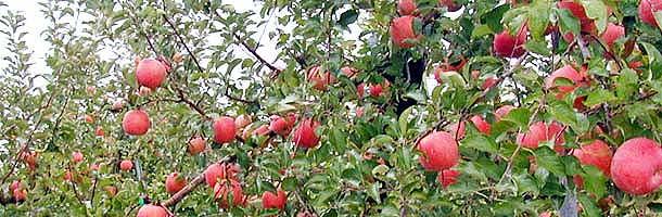 ふじりんご果樹園