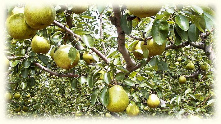 ラフランスの果樹園