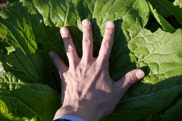山形の漬菜 山形青菜